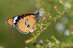 einfacher Tiger ... ( Monarch)