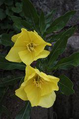 eingefangener Sonnenschein in Blütenform