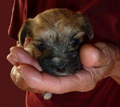 eingekuschelt - Hundewelpe