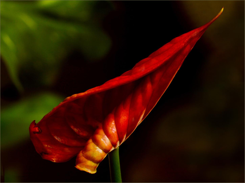 Eingerrolte Blume  ( Anthurie )