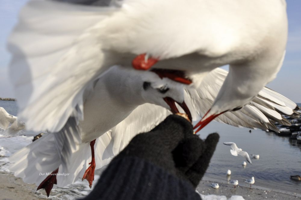 Einhand-Möwen-Fütter-Winterfoto