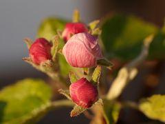 Einige Apfelbäume trauen sich noch nicht, ihre Blüten zu öffnen wegen der kalten Nächte.