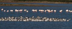 einige ausruhende Flamingos