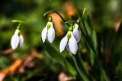 Einläuten des Frühlings