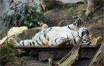 Einmal den Tiger am Bauch kraulen  ...