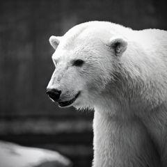 Einmal ein Eisbär