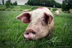 Einmal Schwein sein ....