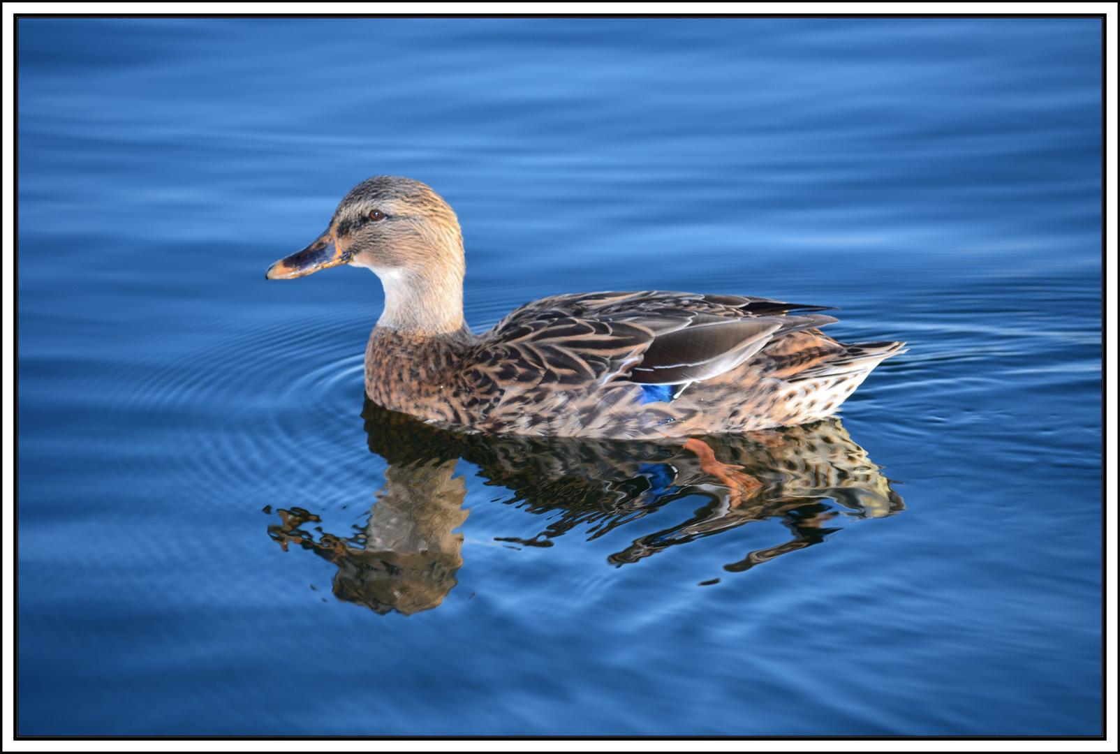 Einsame Ente
