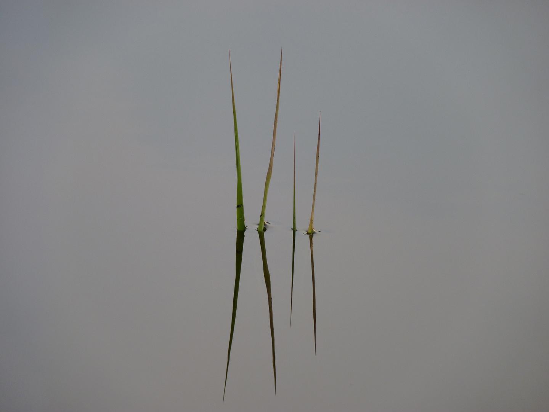 Einsame Pflanzenhalme im See