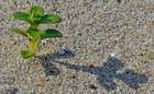 einsame Sandblume