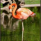 einsamer Flamingo