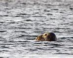 einsamer Schwimmer vor Henningsvaer