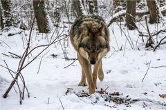 Einsamer Wolf...