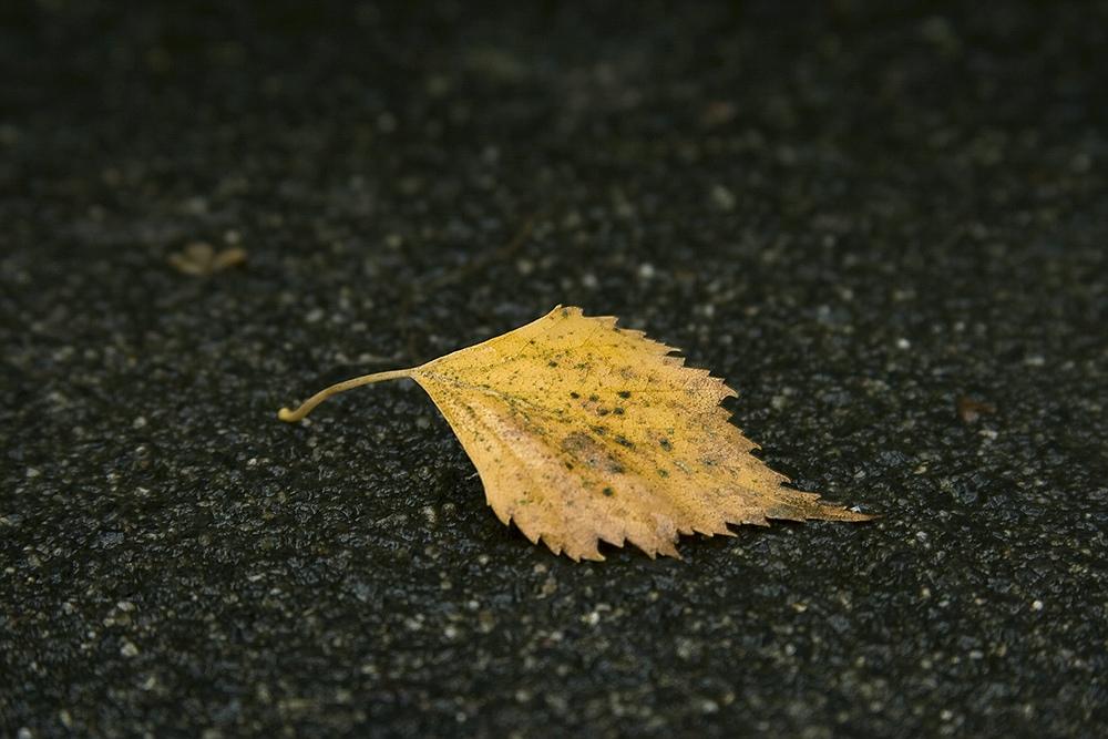 Einsames Birkenblatt