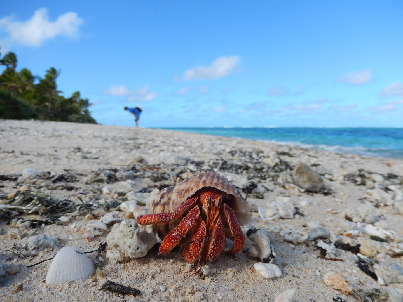 Einsiedlerkrebs auf Ofolanga / Tonga Archipel