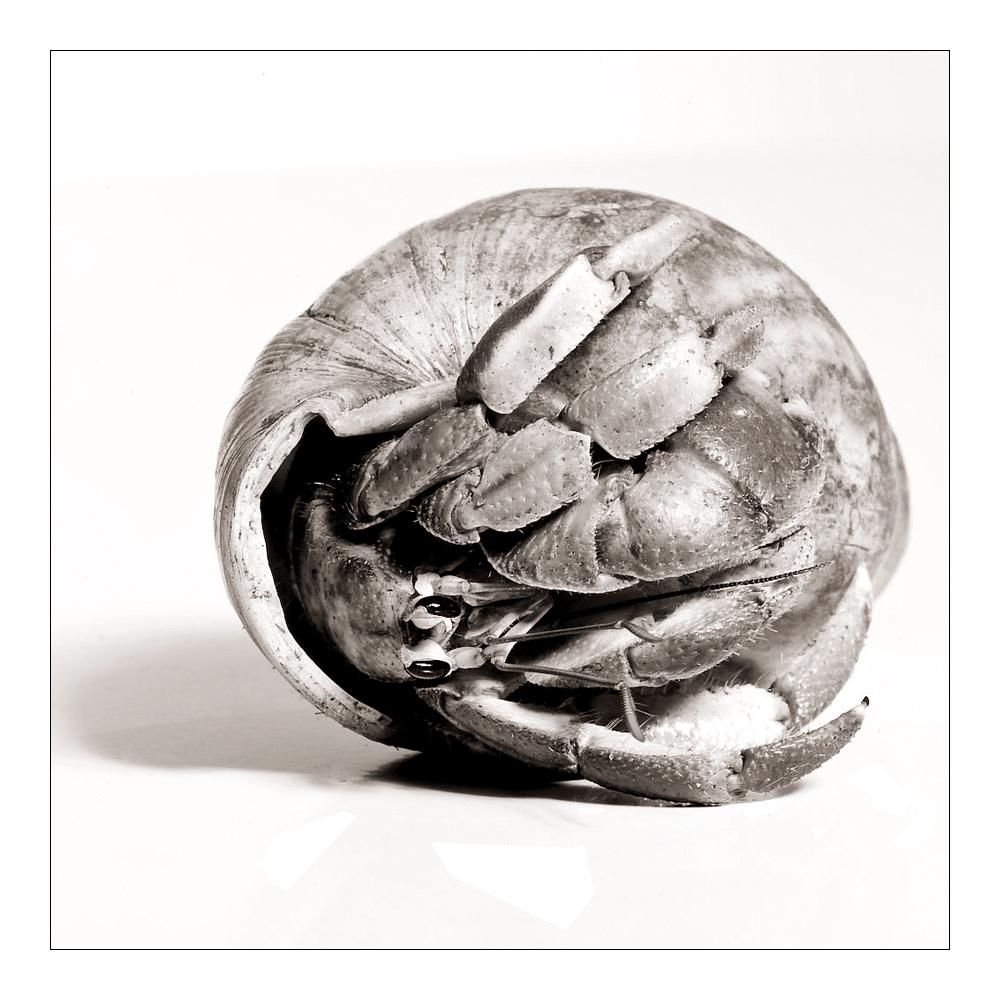 Einsiedlerkrebs - common hermit crab