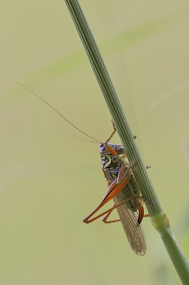 Einstandsbild - Roessels Beisschrecke Weibchen