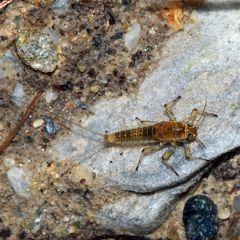 Eintagsfliegenlarve aus der Familie Baetidae! *
