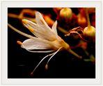 Einzelblüte der Strauchkastanie (Aesculus parviflora) ...