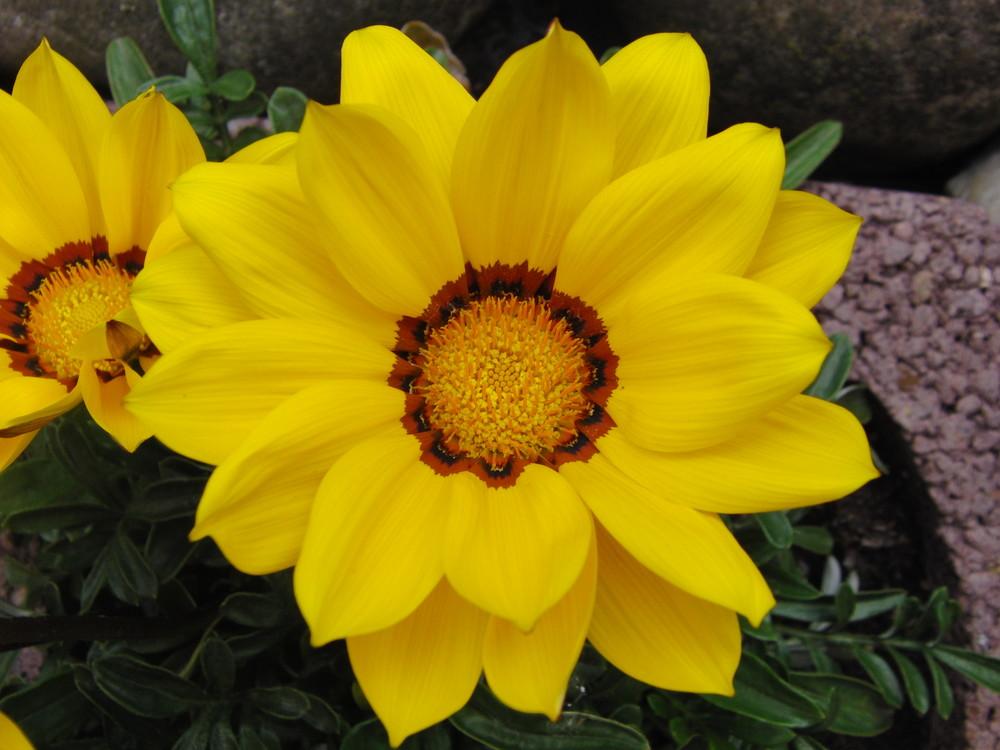Einzelblüte im Sommerflor