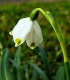 Einzelblüte Märzenbecher, (Macro und Ausschnitt)