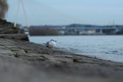 Einzelgänger am Rhein