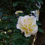 Einzelne Rose unter den Tannen.