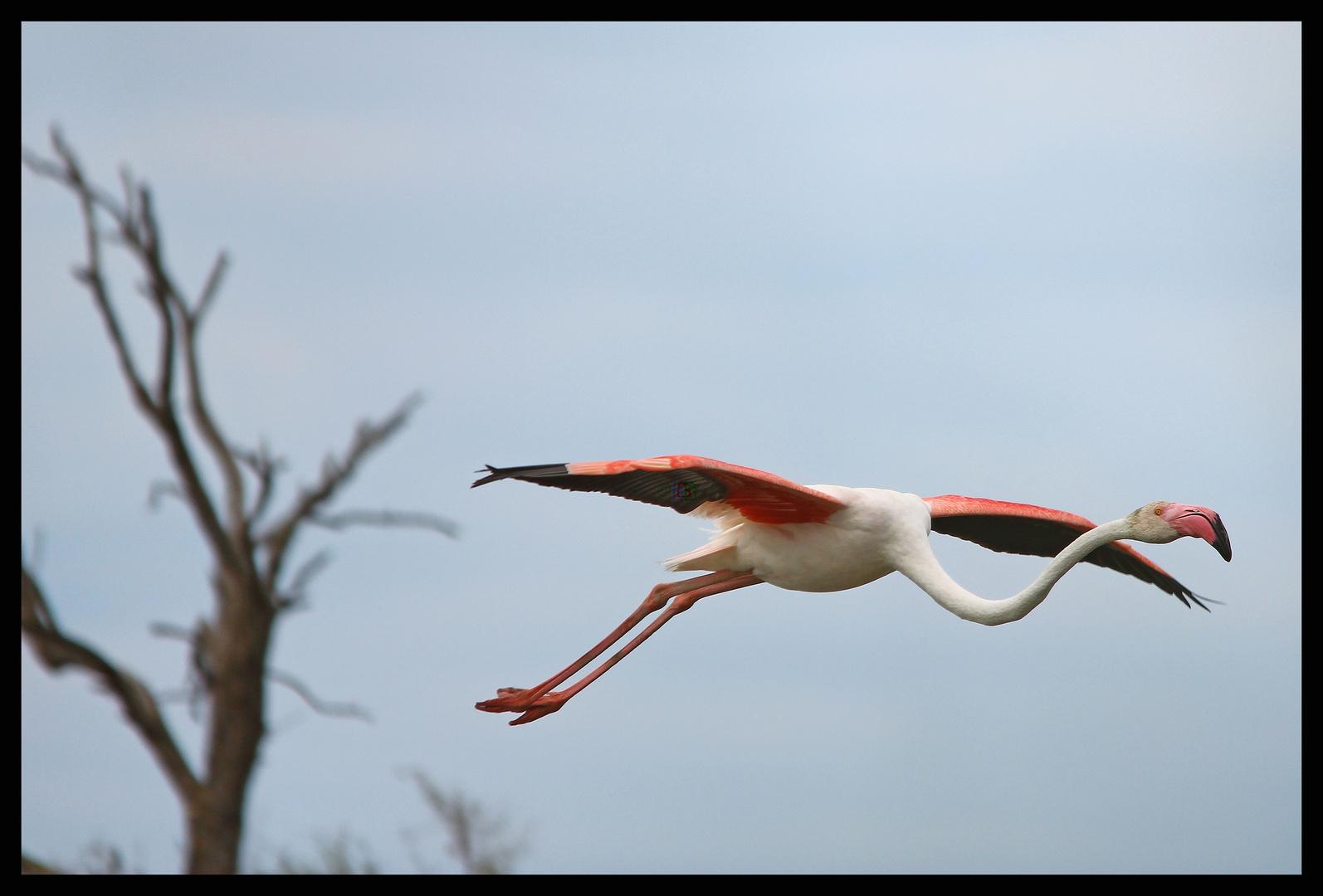 Einzelner fliegender Flamingo
