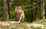Einzelner Timberwolf hält Ausschau