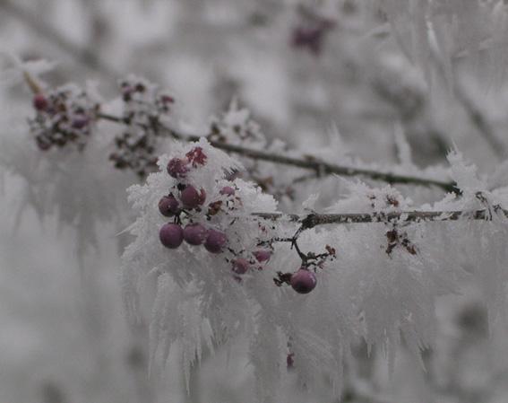 Eis-Beeren