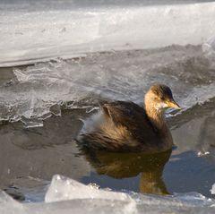 Eis - Vogel - kein Eisvogel