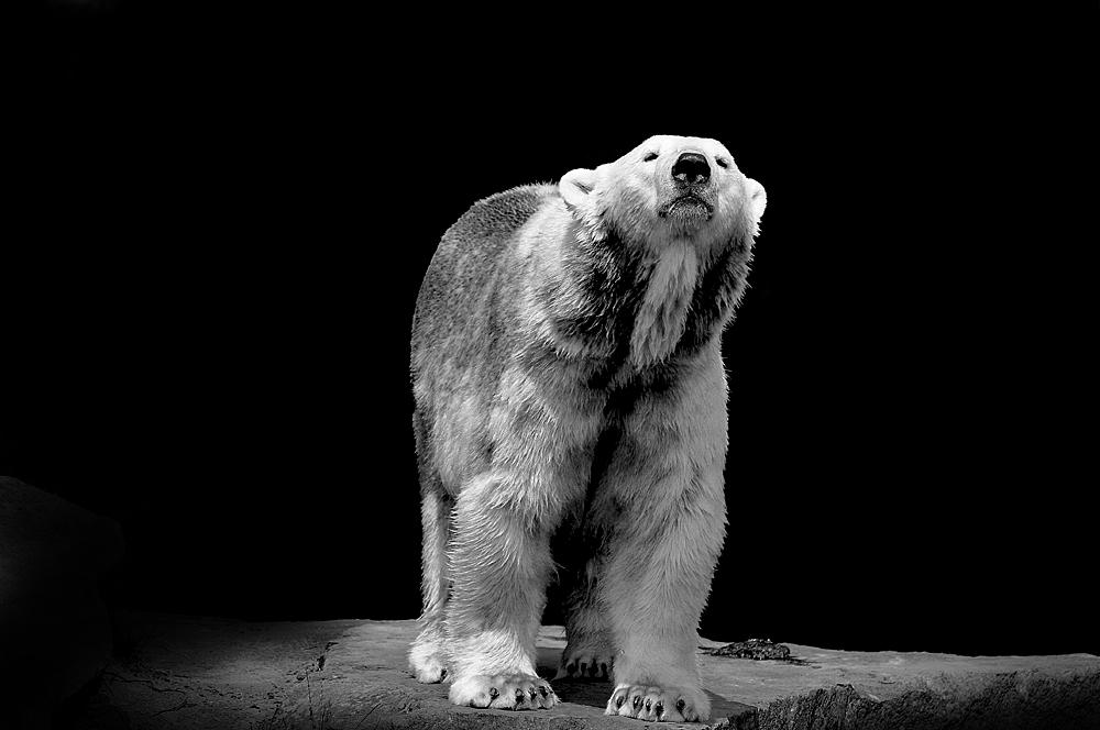 Eisbär *
