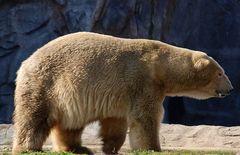 Eisbär 2
