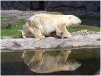 Eisbär........