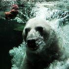 Eisbär auf der Jagt