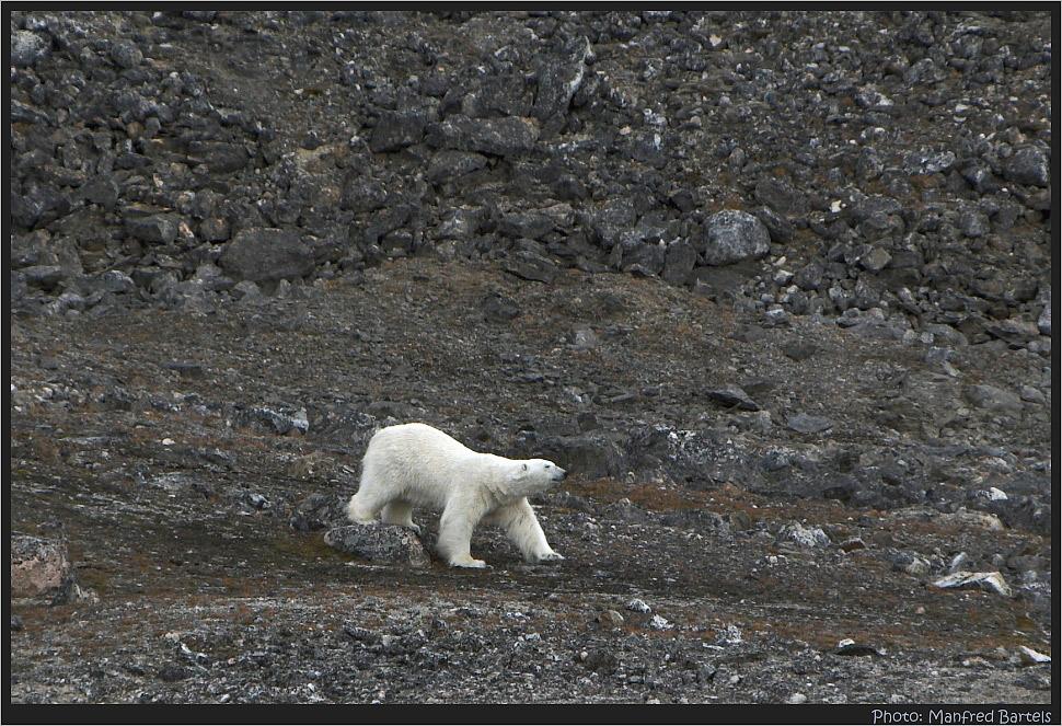 Eisbär auf nüchternen Magen..