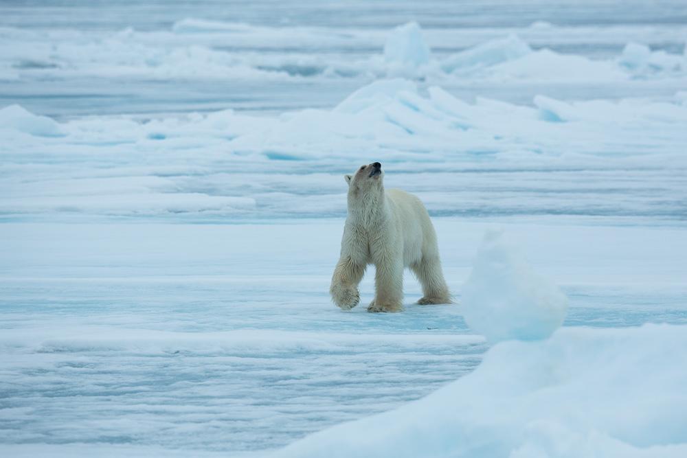 Eisbär bei Spitzbergen