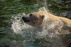 Eisbär beim baden
