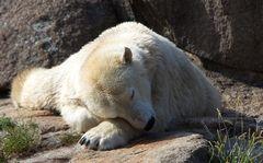 Eisbär...