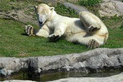 Eisbär - genießt die erse Frühlingssonne