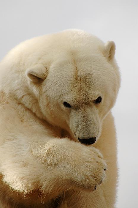 Eisbär im Leipziger Zoo