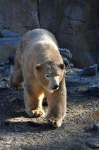 Eisbär im Morgenlicht/Schatten