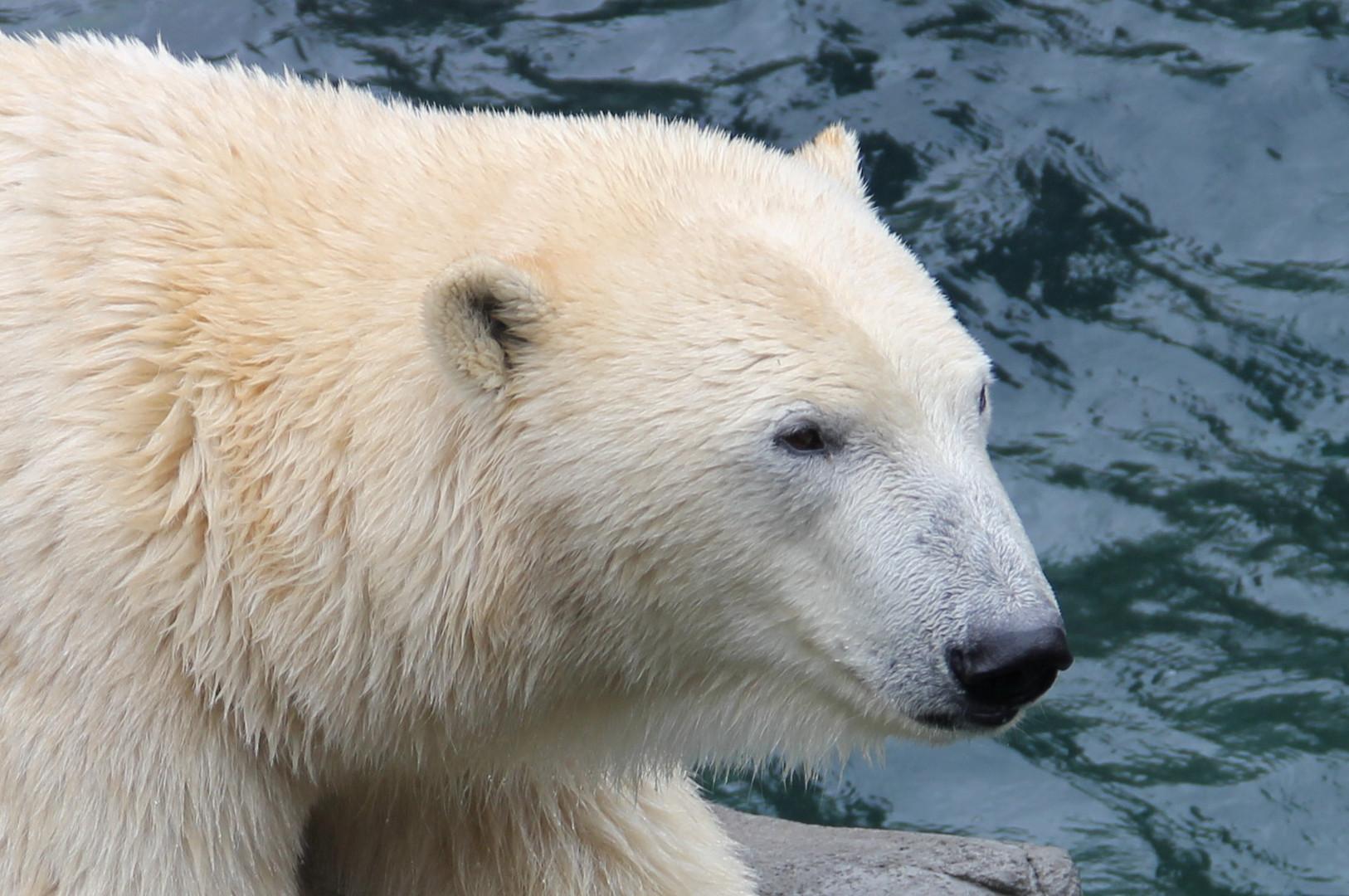 Eisbär im Zoo Hannover