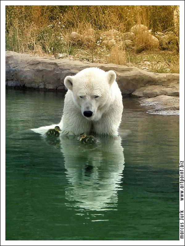Eisbär im Zoo mit Entenküken...