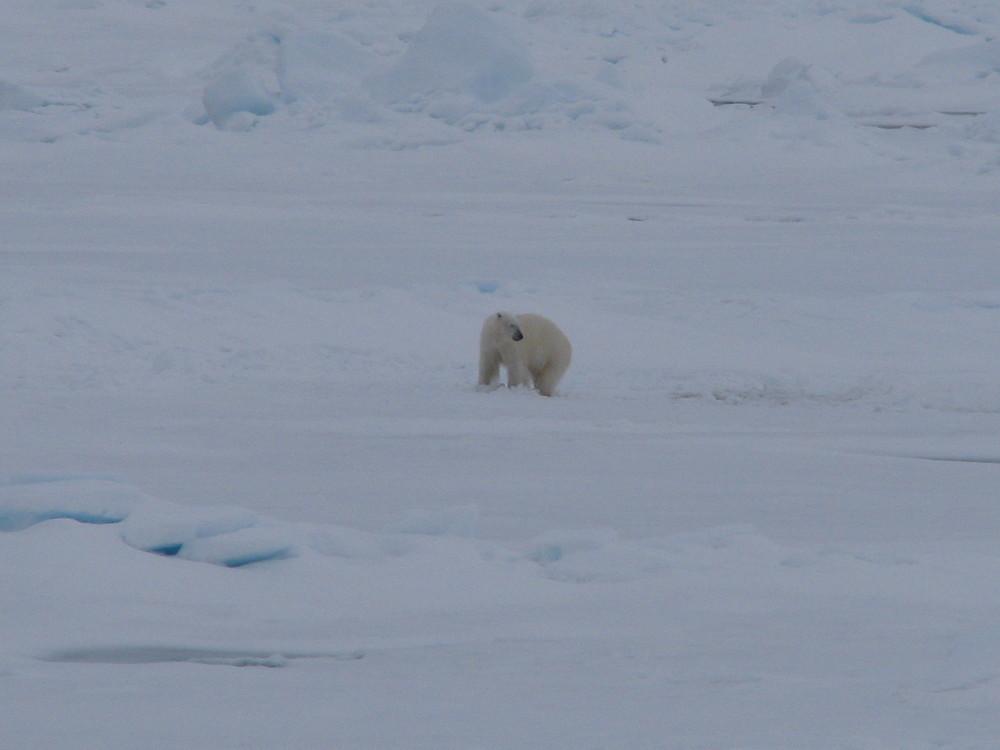 Eisbär in freier Wildbahn