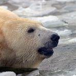 Eisbär in seienem Element