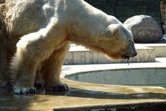 Eisbär - jetzt hat er doch noch einen Fisch mitbekommen