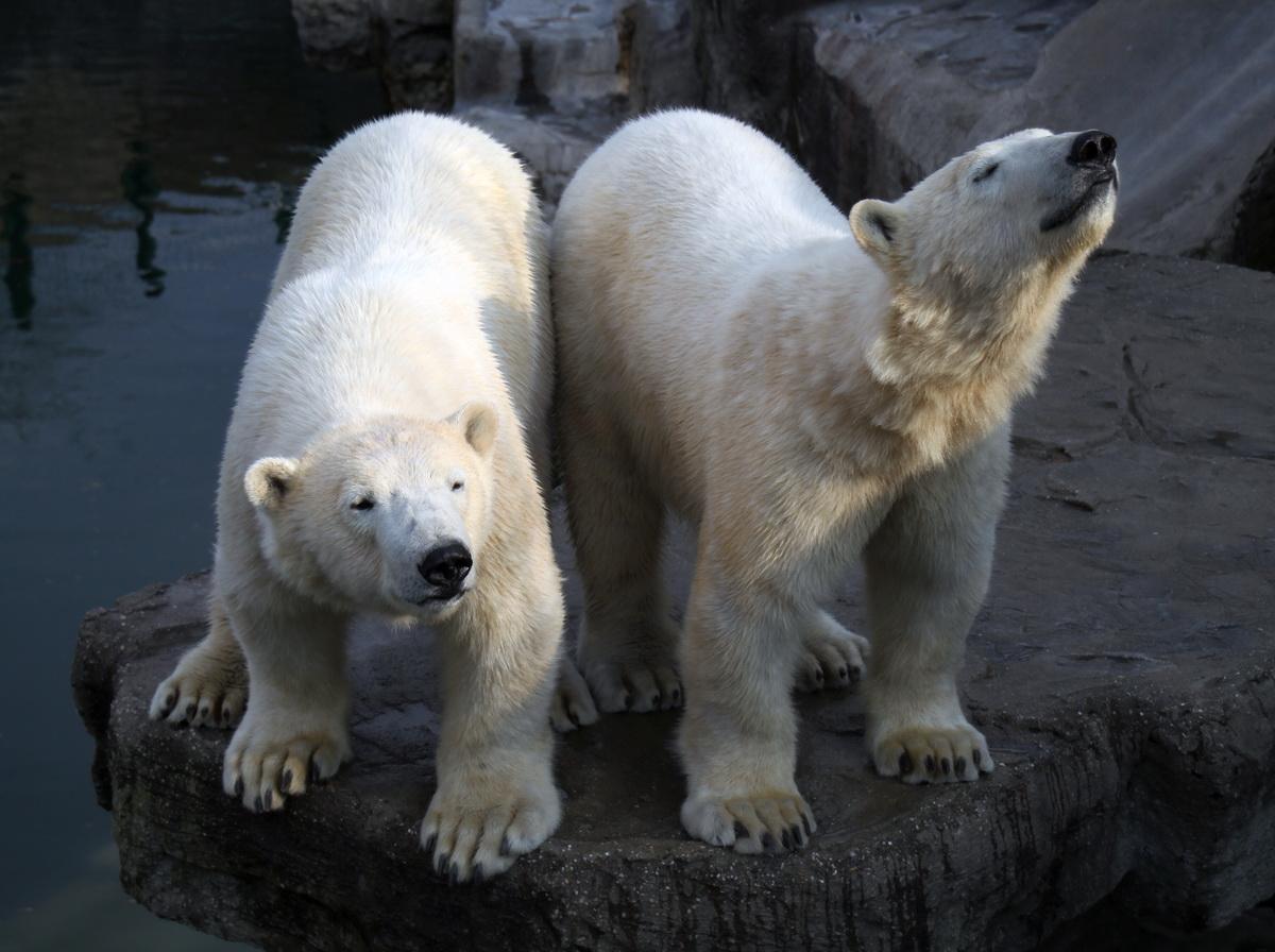 Eisbär liebt die Sonne