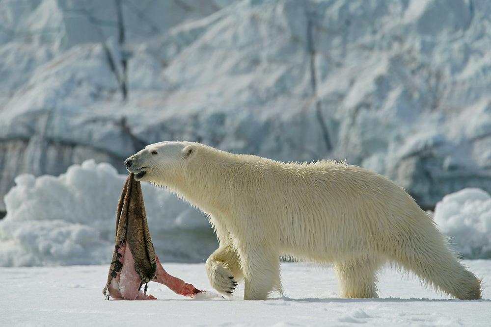 Eisbär mit Robbenhaut