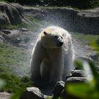 Eisbär nach dem Bad